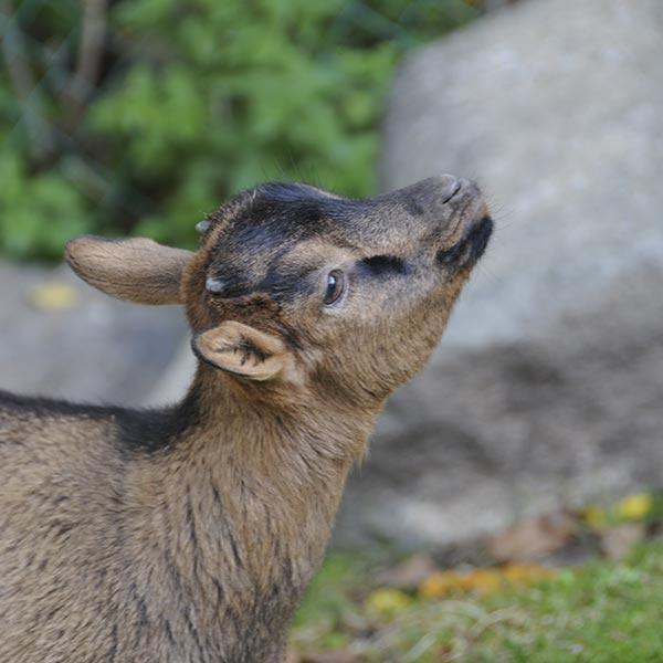 cerbiatto alpe di siusi