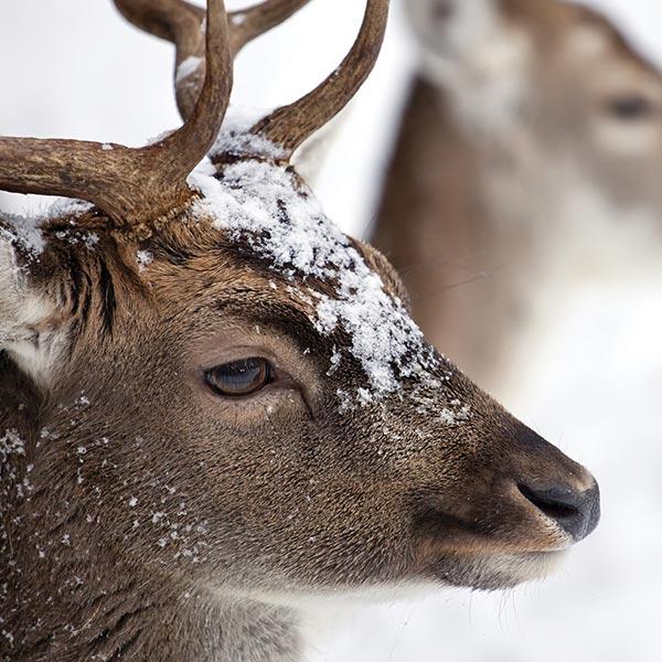 profilo cervo alpe si Siusi