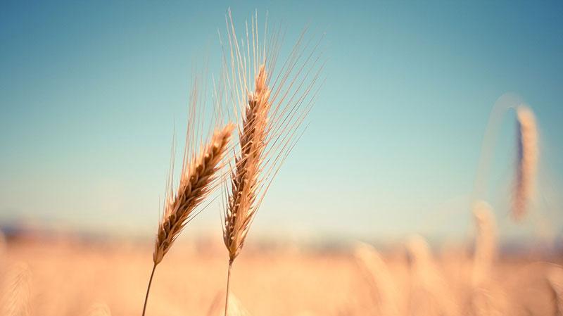 spine di grano